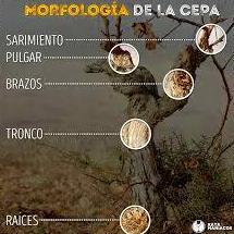 MORFOLOGÍA DE LA VID: tronco, brazos, yemas, brotes, sarmientos.