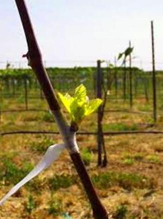 Trabajos en la viña: La plantación (II)
