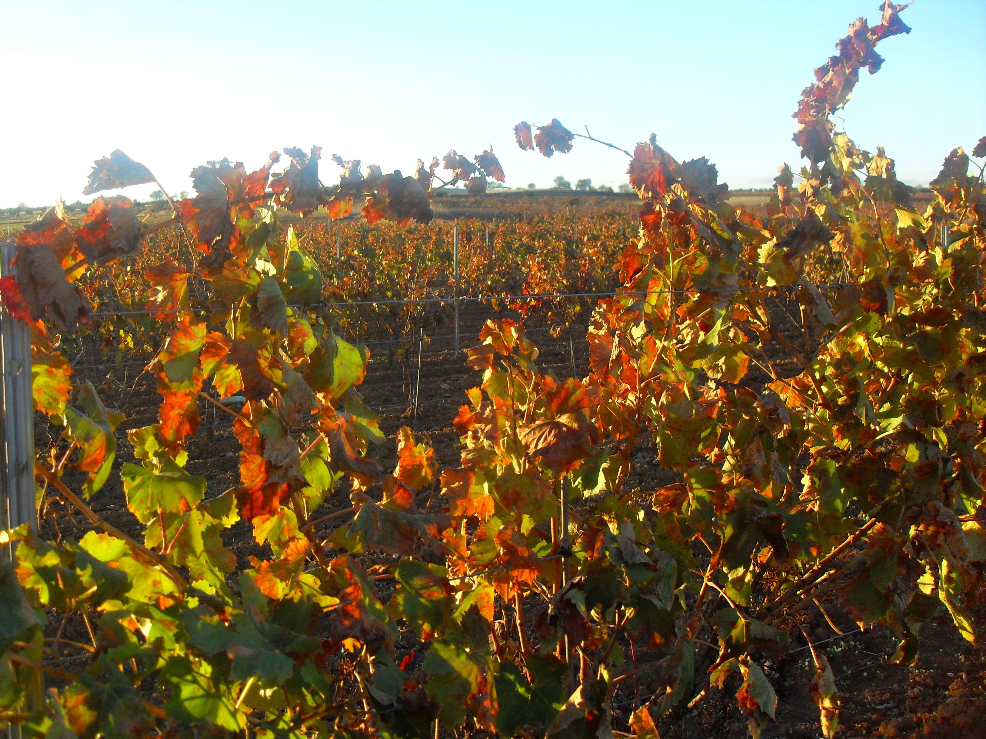 Foto 35 de Venta de vinos con denominación de origen Mondejar en Mondéjar | Bodegas Mariscal