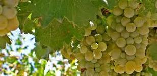 Foto 32 de Venta de vinos con denominación de origen Mondejar en Mondéjar | Bodegas Mariscal