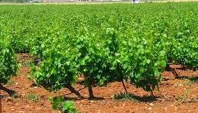 Foto 17 de Venta de vinos con denominación de origen Mondejar en Mondéjar | Bodegas Mariscal