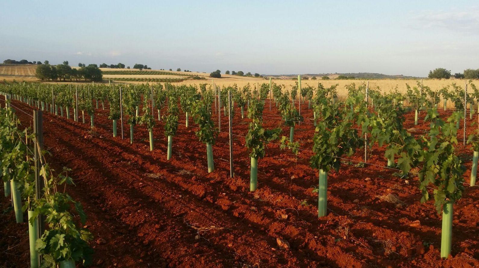 Foto 16 de Venta de vinos con denominación de origen Mondejar en Mondéjar | Bodegas Mariscal