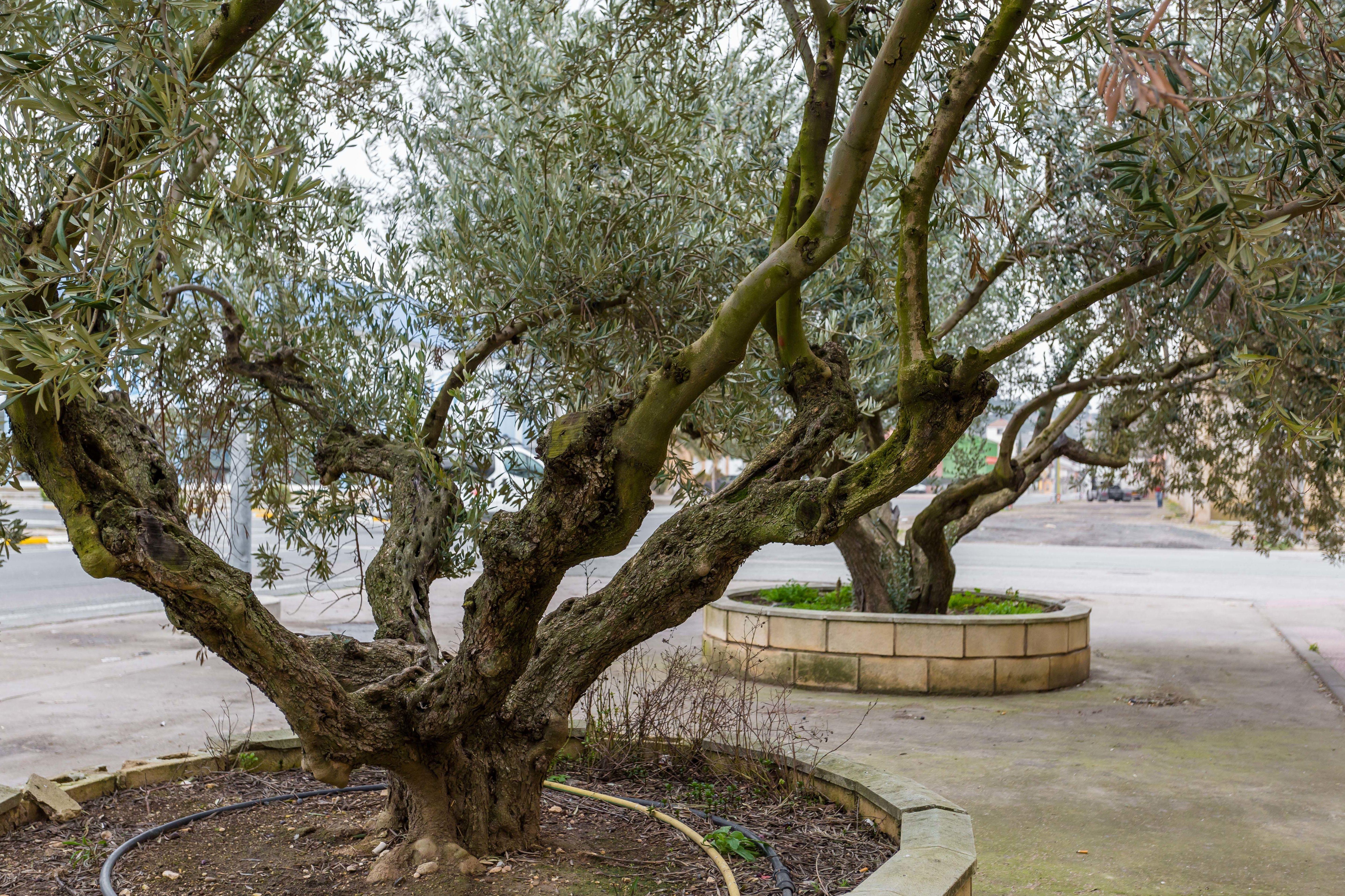 Nuestros olivos