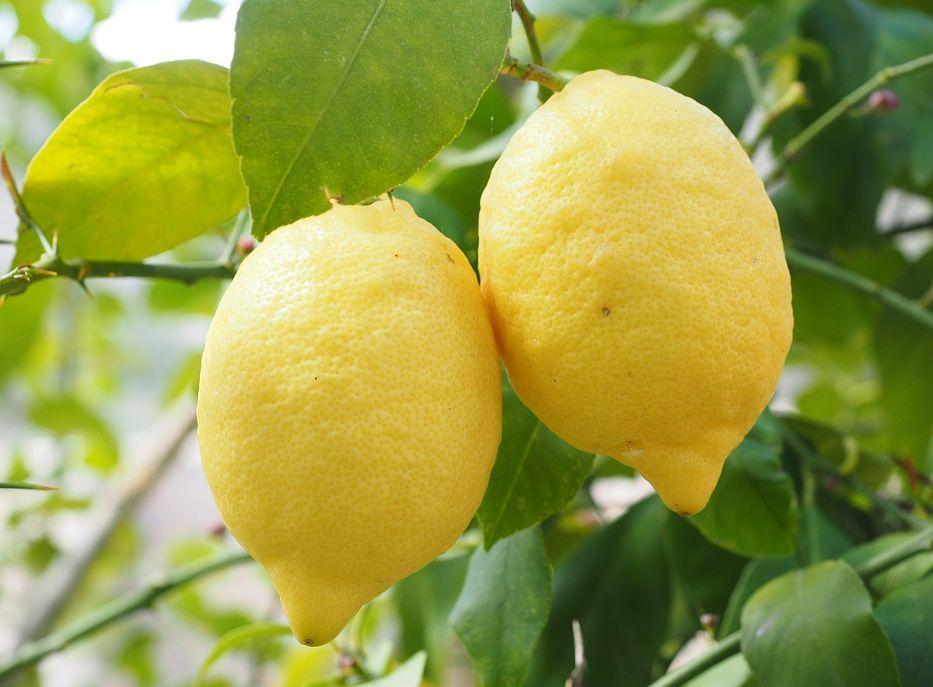 Injertos de árboles frutales y cítricos: Servicios de Agrojove