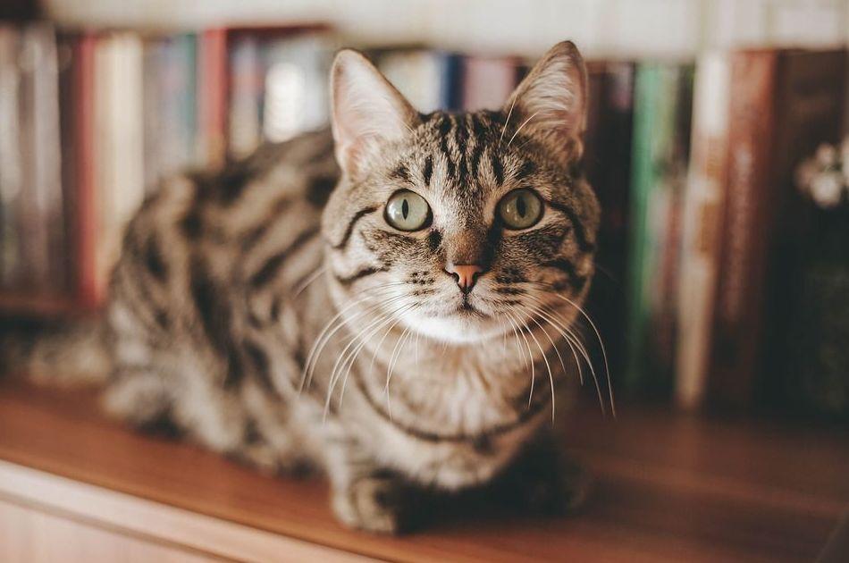 Guía para el cuidado de nuestro gatito