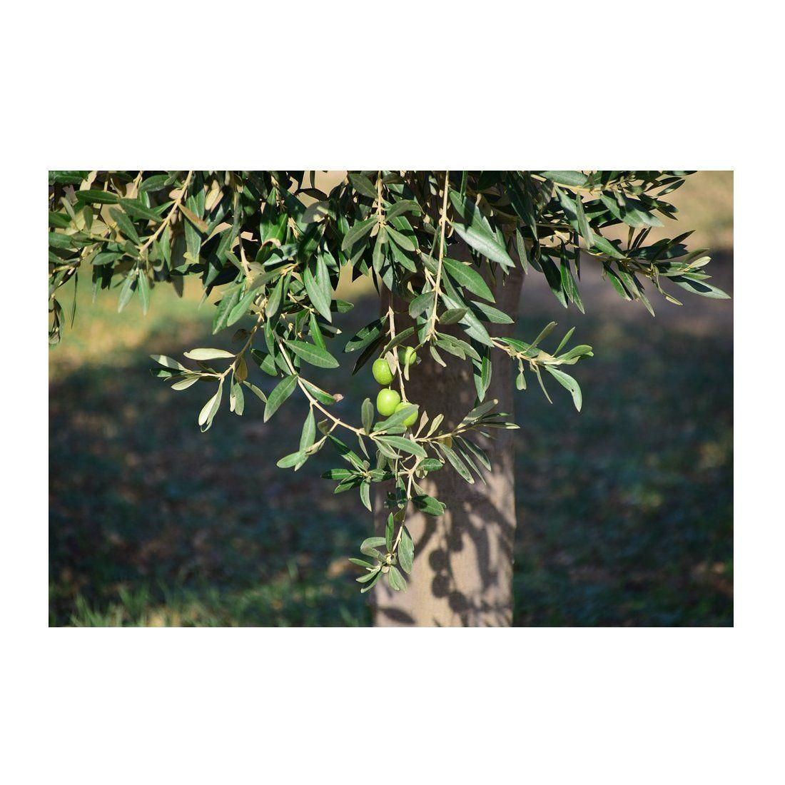 Venta de olivos y árboles frutales