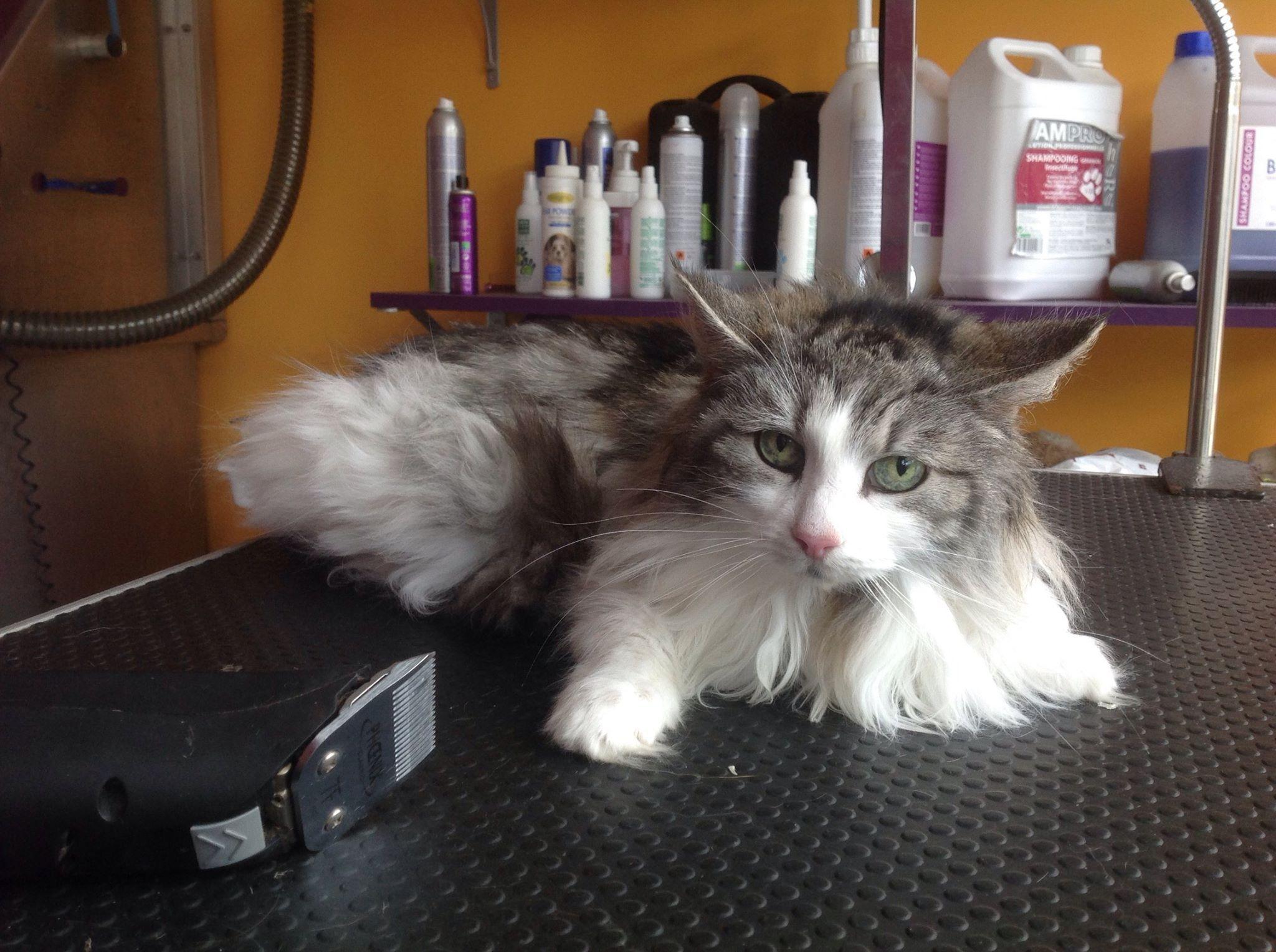 Peluquería felina en Donostia