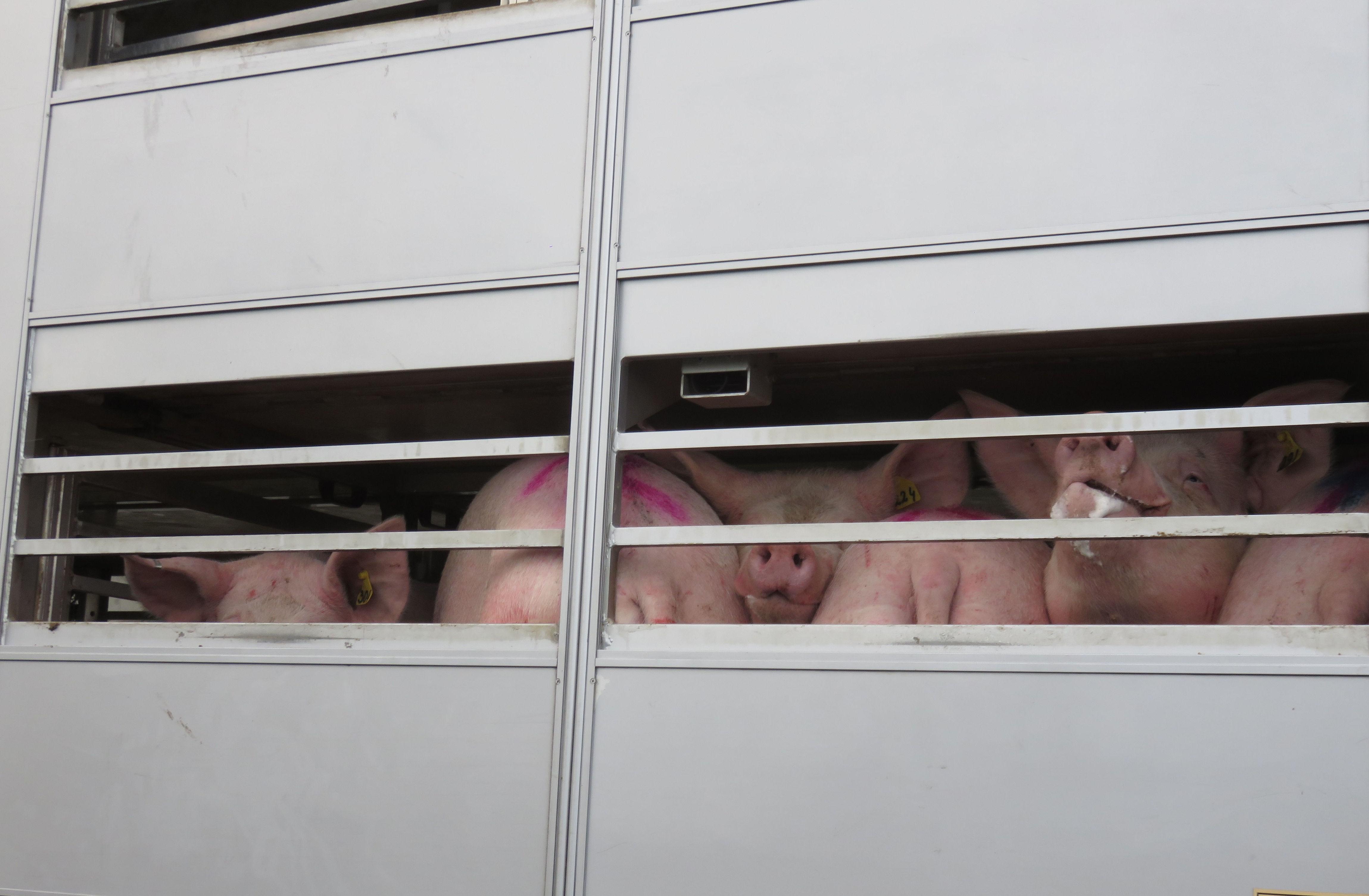 Transporte de porcinos: Servicios  de Torras I perarnau