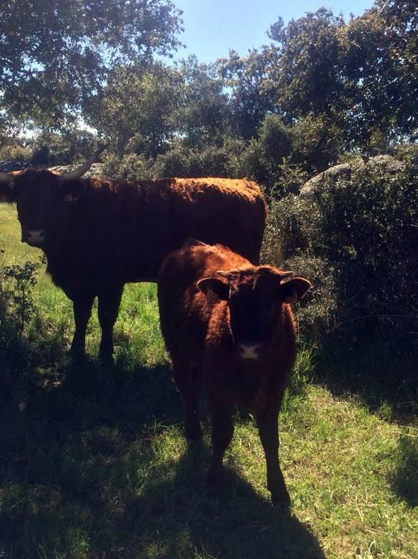 Vacas de la raza Salers, campeona de la productividad numérica