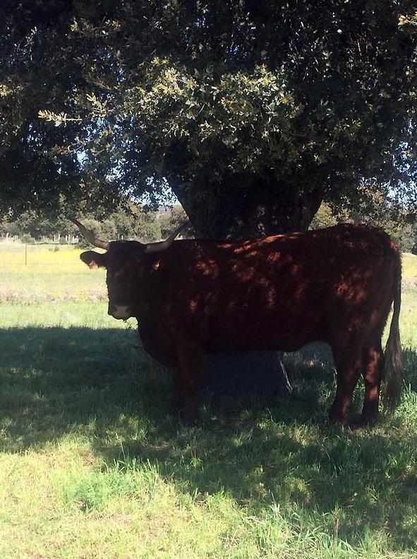 Vacas de la raza Salers francesa con garantía de fertilidad