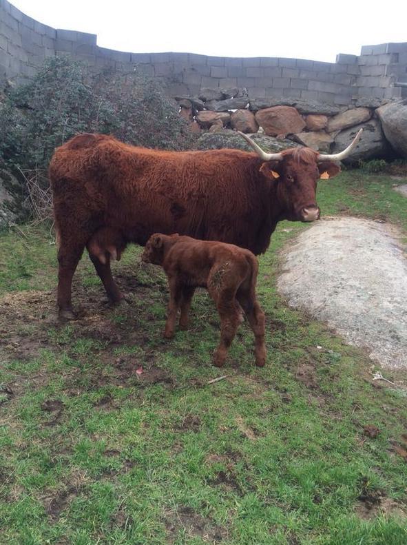 Vaca con su cría