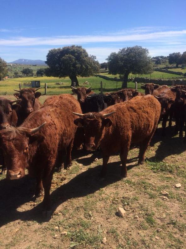 Vacas de raza Salers con garantía de fertilidad y garantía sanitaria