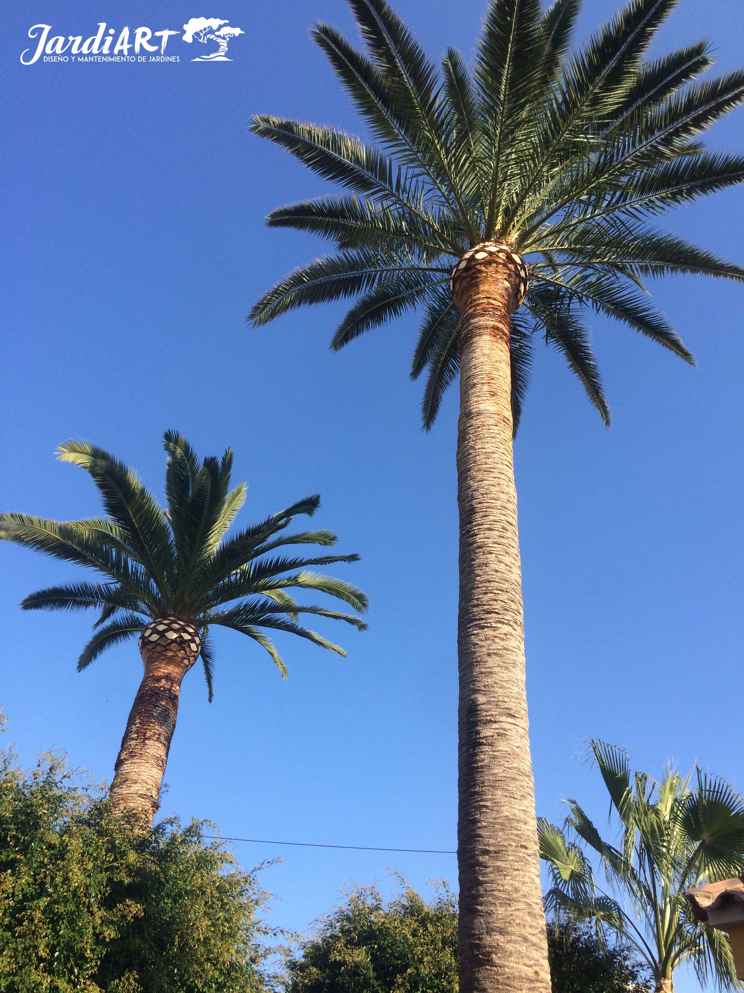 Poda y mantemiento de palmeras en Castellón