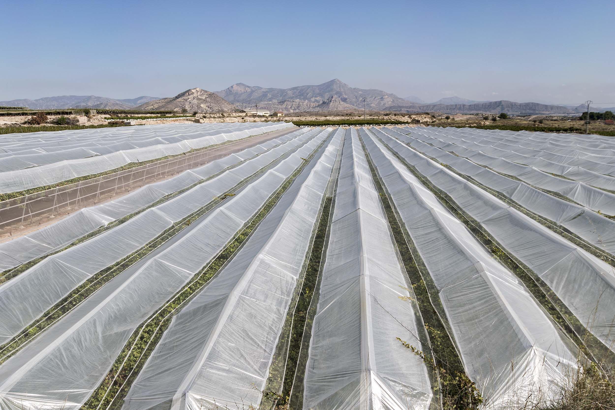 Colocación de telas y plásticos para los invernaderos en Alicante