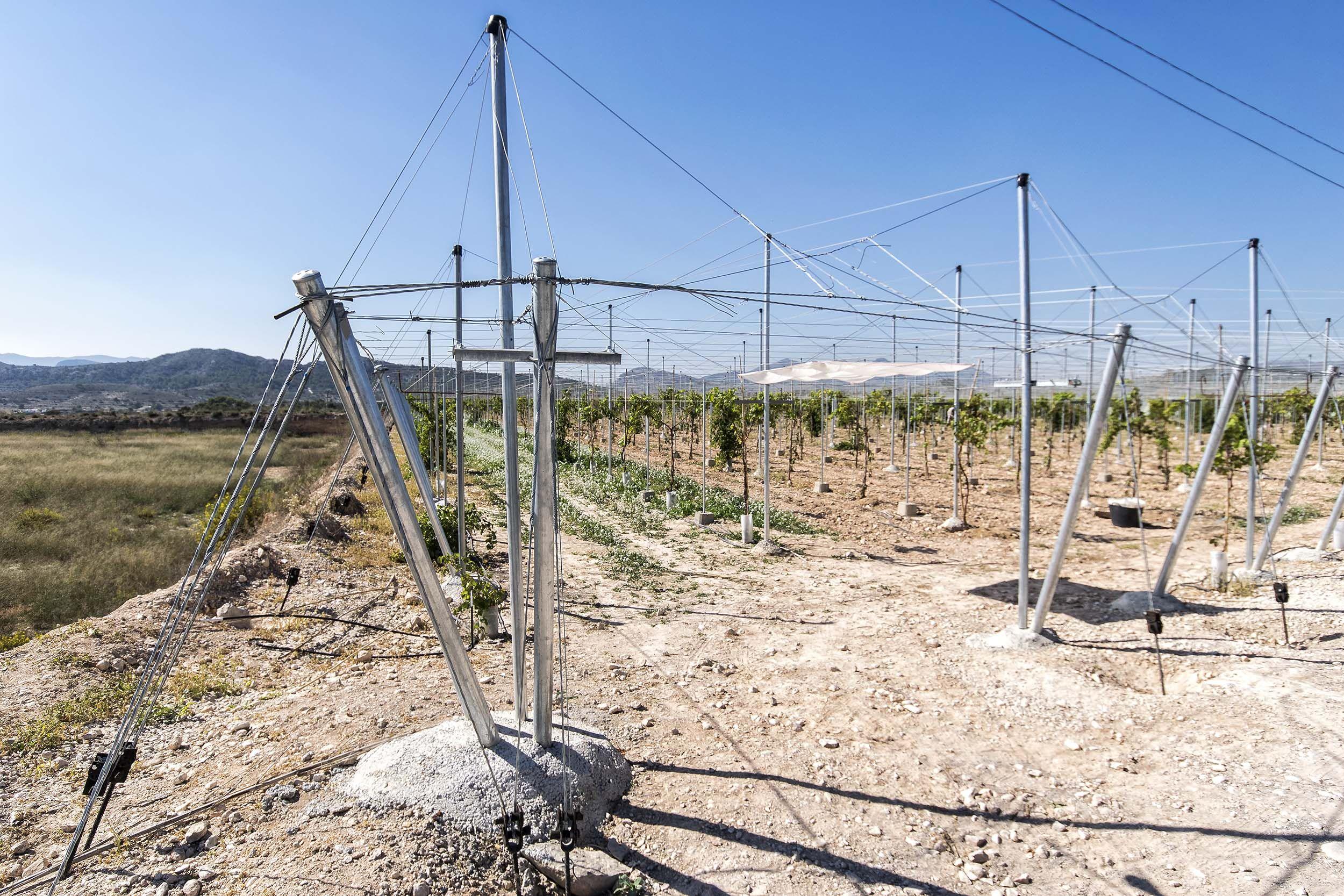 Construcción de parrales para uvas