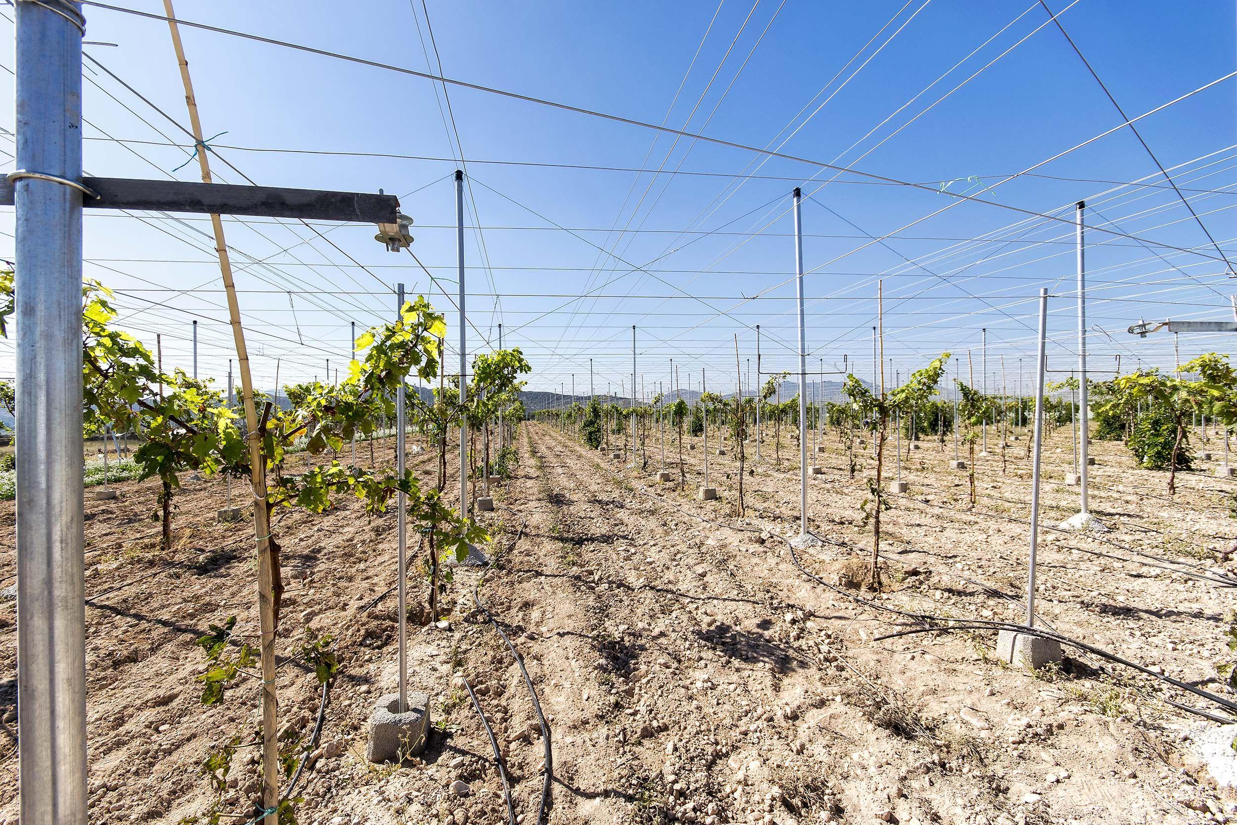 Cercados de fincas para cultivo de uvas en Alicante
