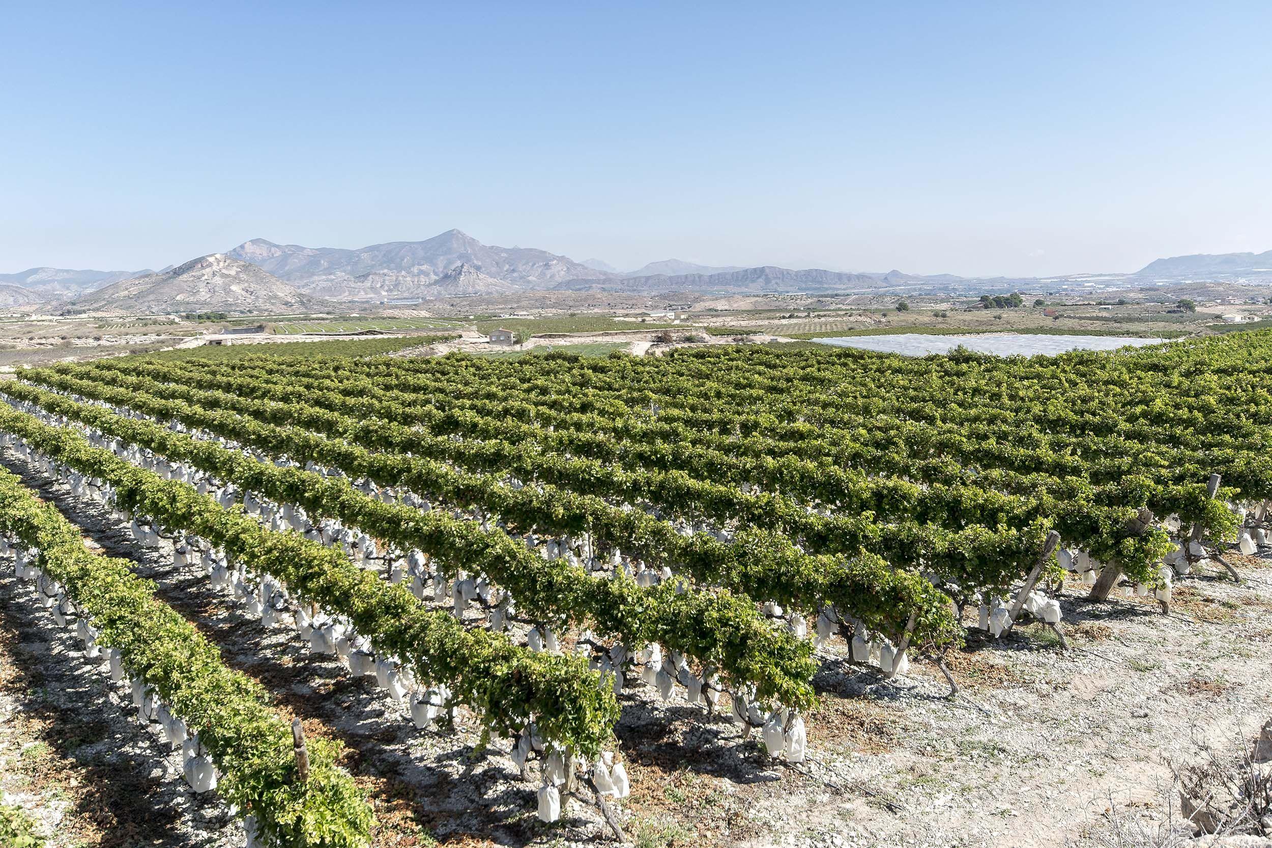 Montajes de sistemas de conducción para cultivo de uvas