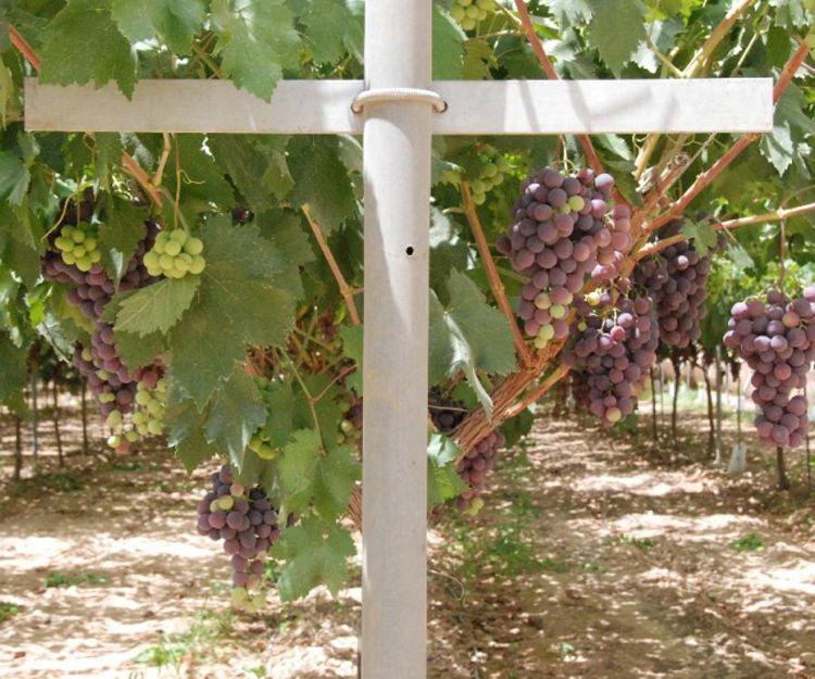 Profesionales en instalación de parrales de uvas