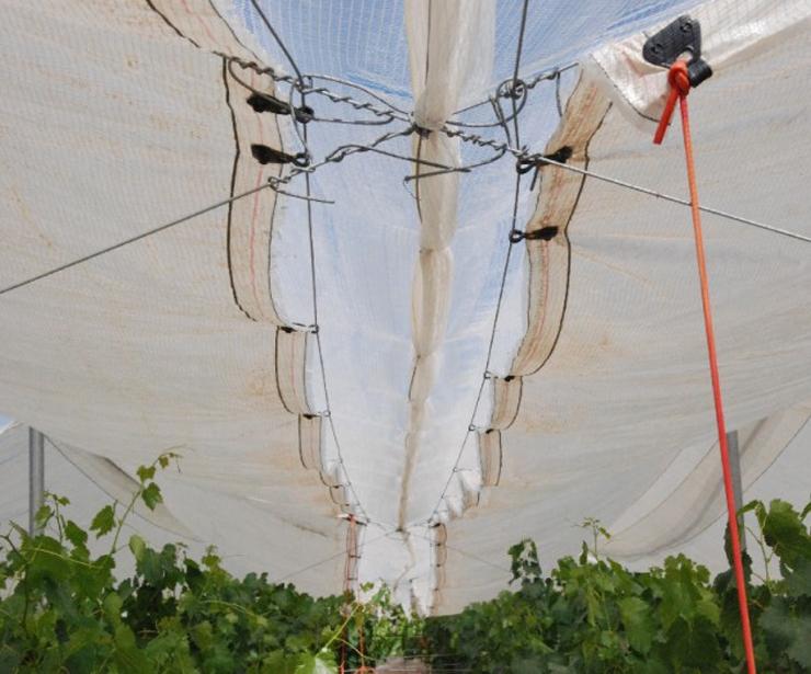 Colocación de plástico y tela para el avance y protección de la uva de mesa