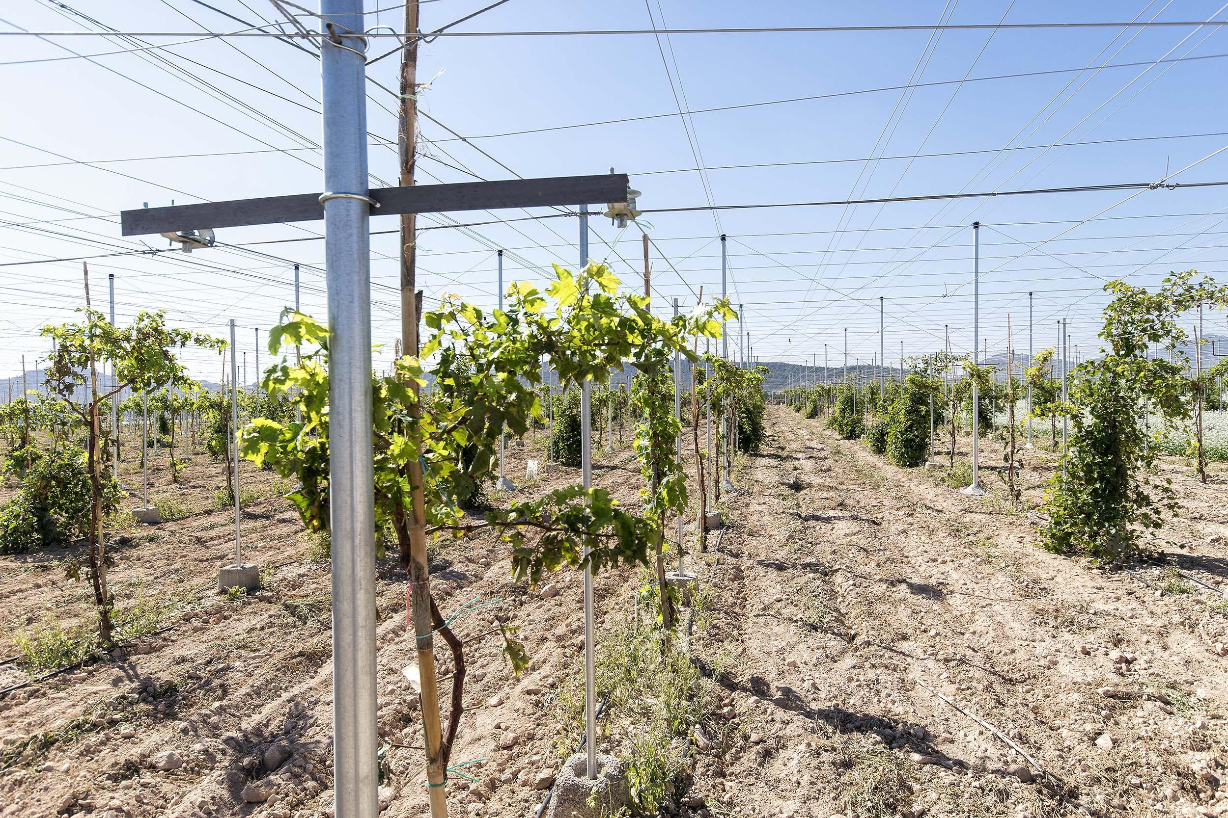 Realización de tareas específicas del cultivo de la vid en Alicante