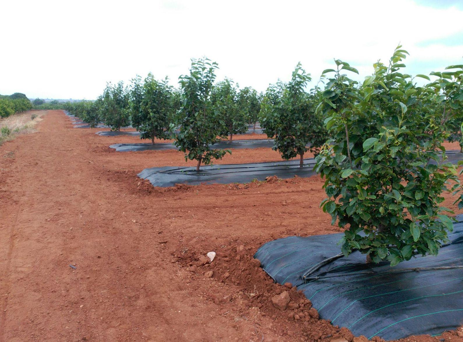 Colocación de malla antihierba en frutales. Mantiene la humedad en el terreno