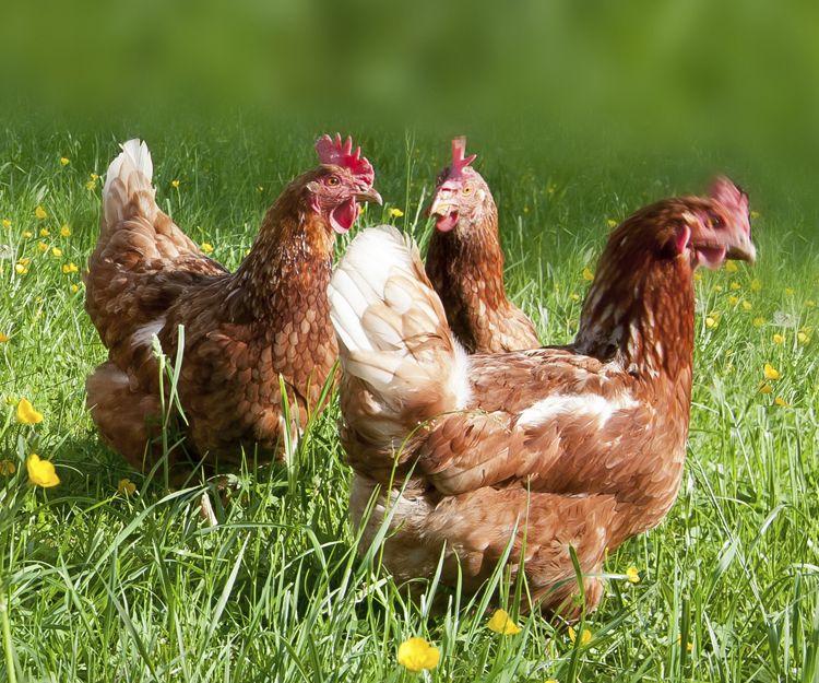Granja avícola en Guipúzcoa