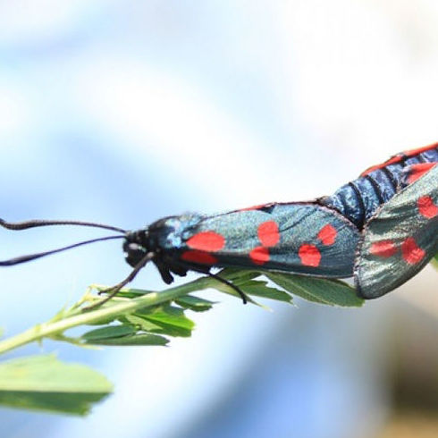 Feromonas en los insectos