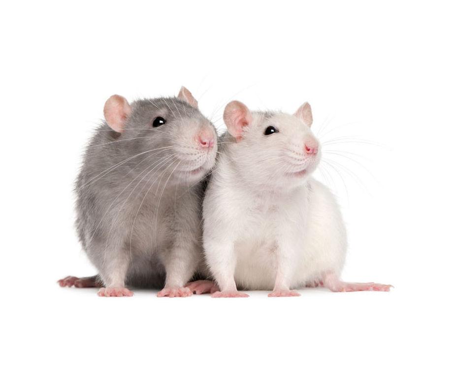 Tratamientos contra los roedores
