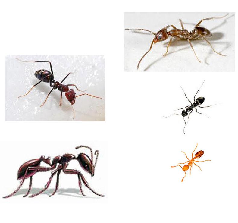 Tratamiento de hormigas