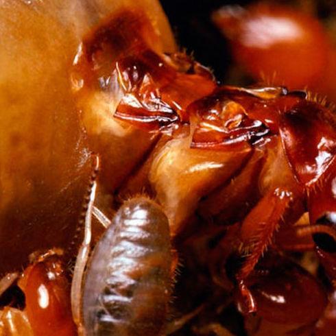Desarrollan un tratamiento que hace la madera inmune a las termitas