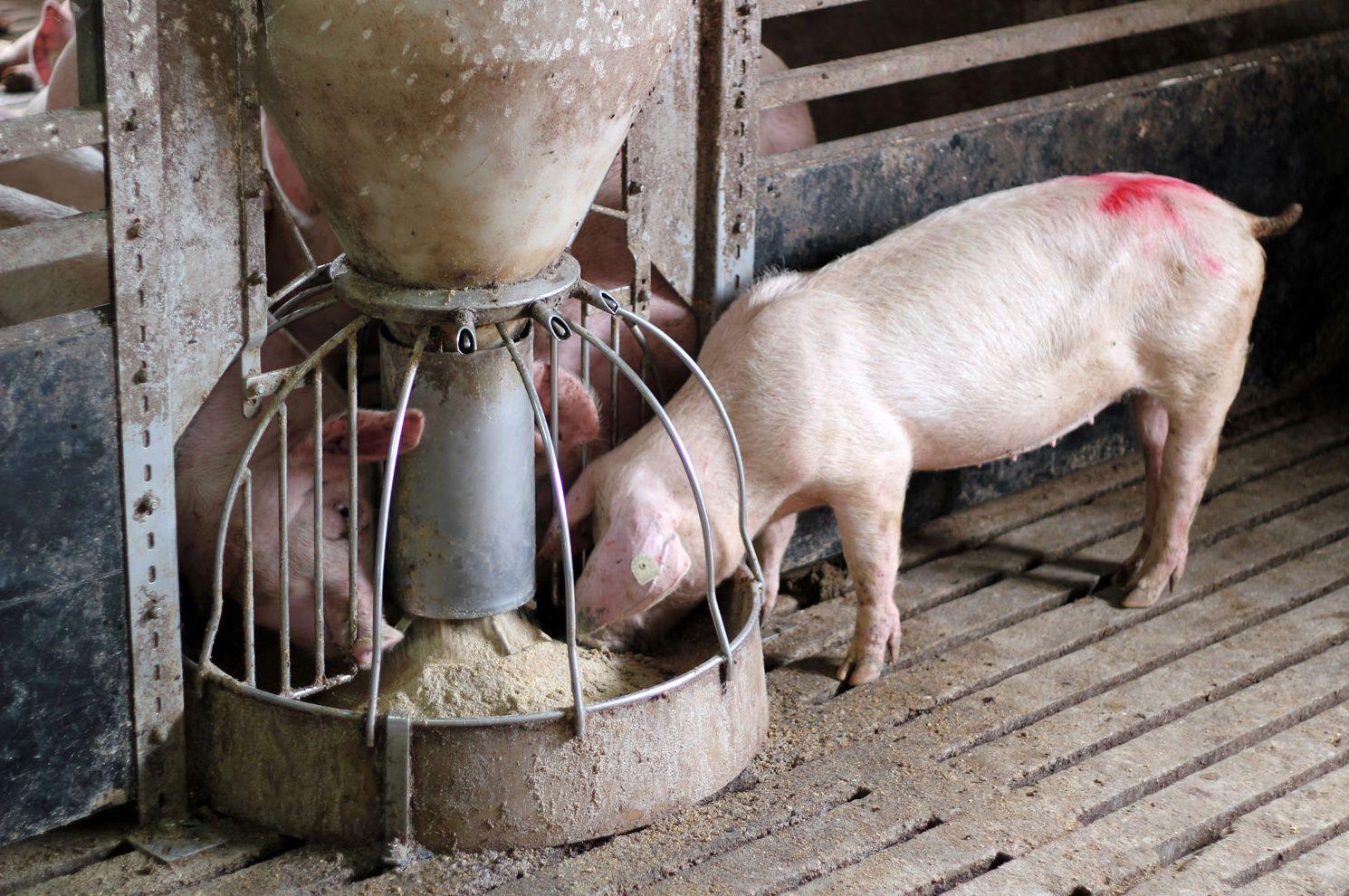 Elaboración y distribución de tripas naturales de cerdo