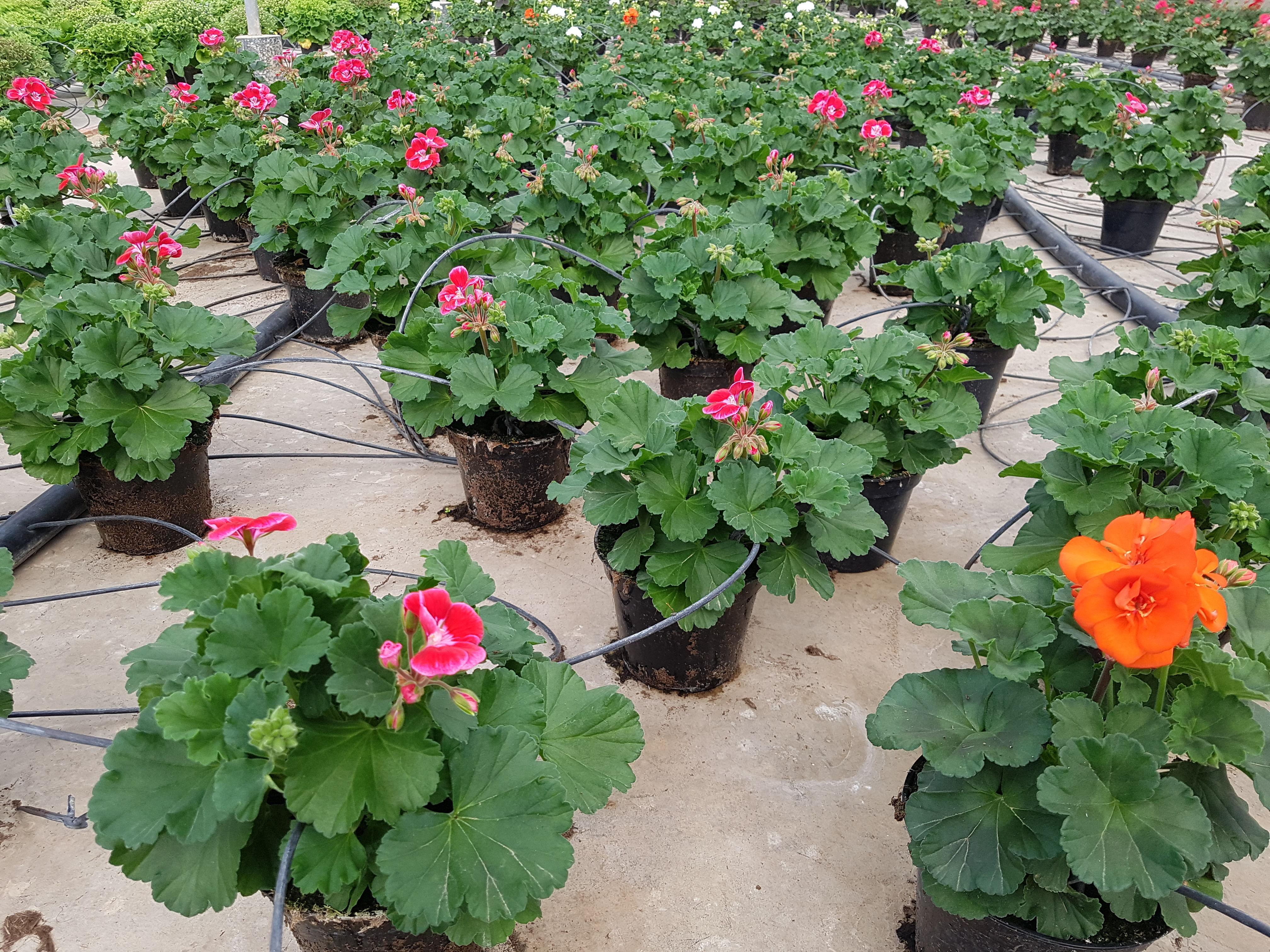 Foto 22 de Vivero de plantas ornamentales en    Viveros Algeplant