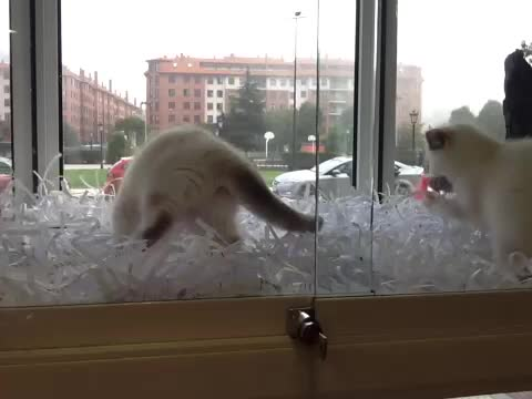Gatos persas en oviedo }}