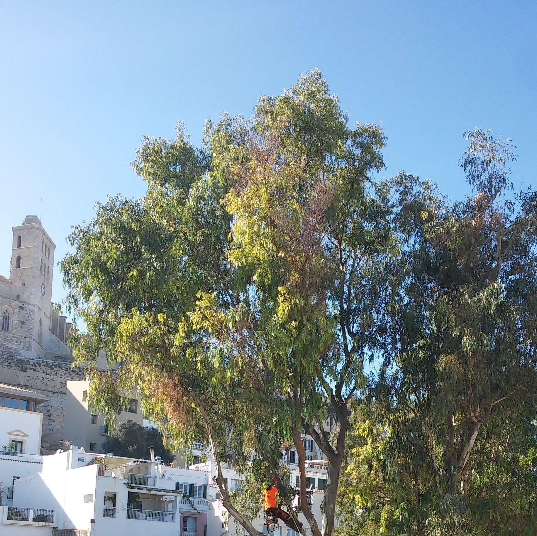 Poda eucalipto. Ayuntamiento de Ibiza
