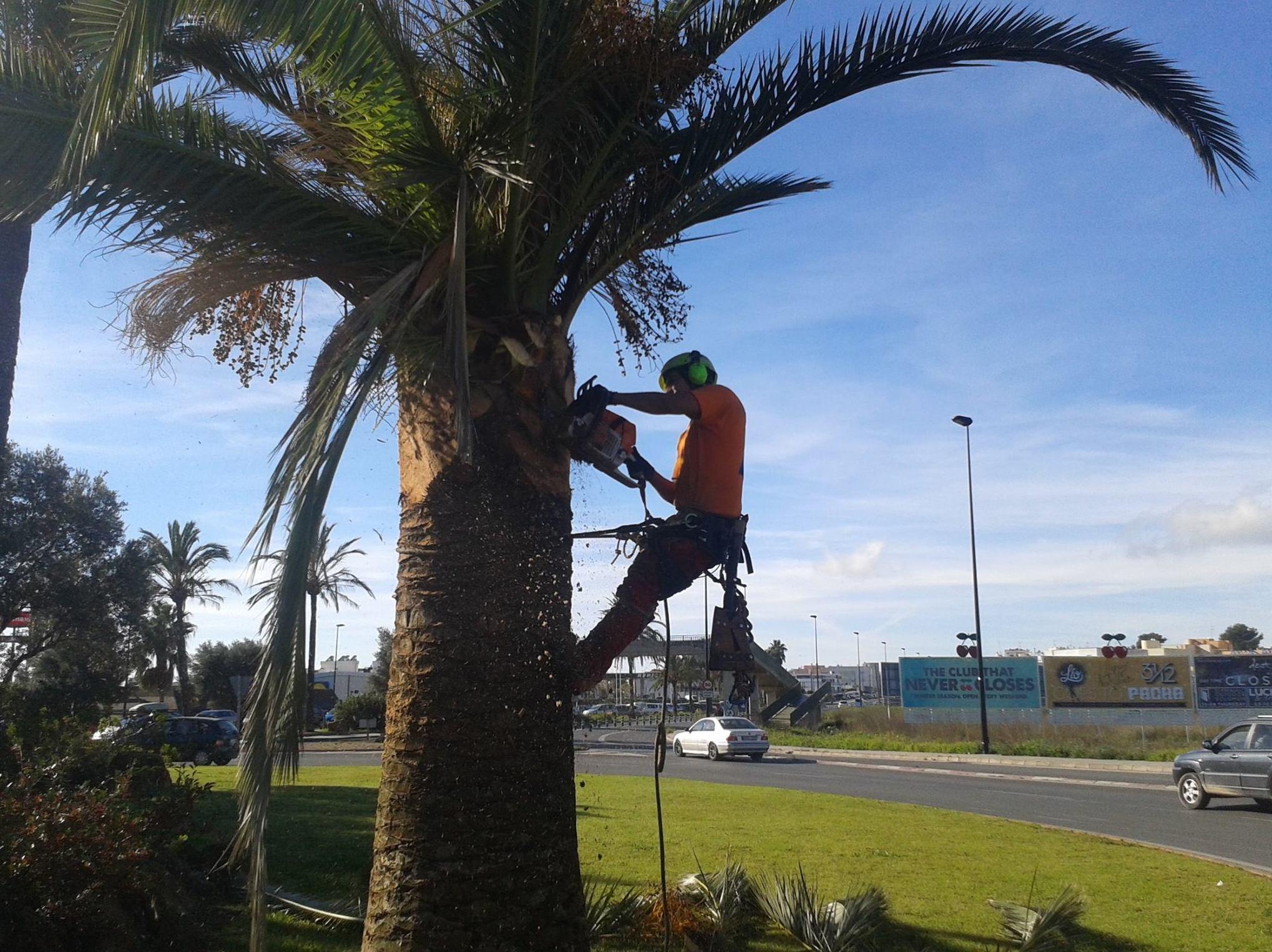 Cirugía o saneamiento en palmeras   : CATÁLOGO de Tamar Gardens