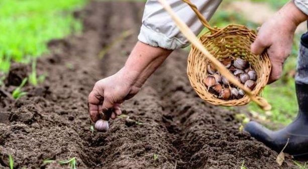 Cómo sembrar ajos paso a paso