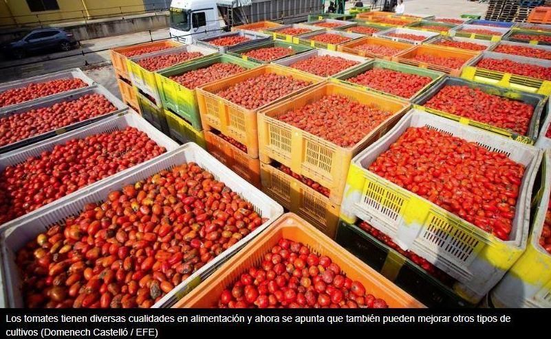 El tomate emite un aroma que puede proteger a otros cultivos ante las bacterias