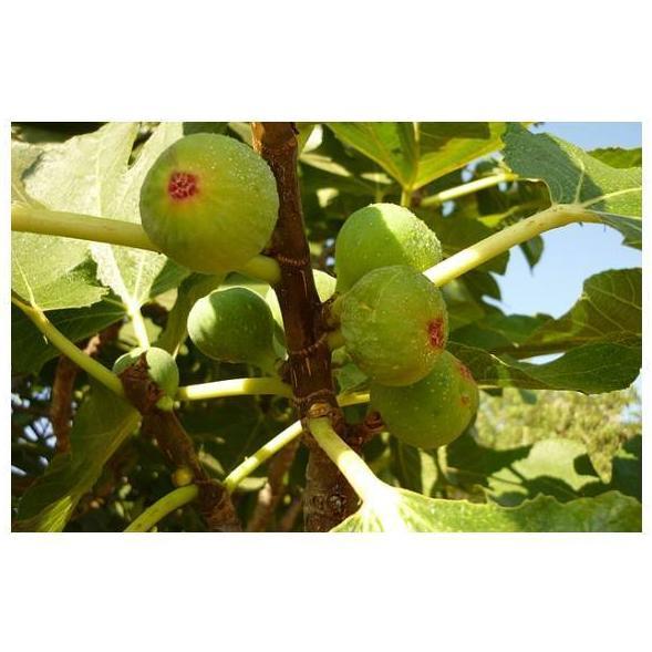 Higos: Productos de Mundifruit