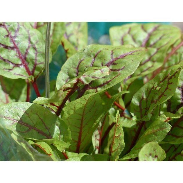 Acedera fresca: Productos de Mundifruit