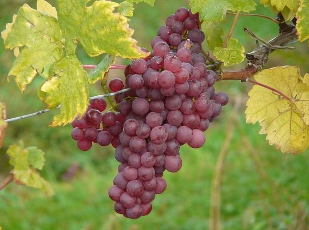 Uva morada de Alicante: Productos de Mundifruit