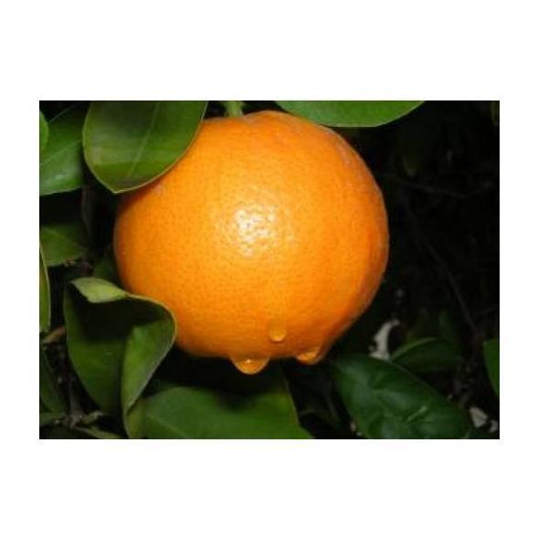 Naranjas: Productos de Mundifruit