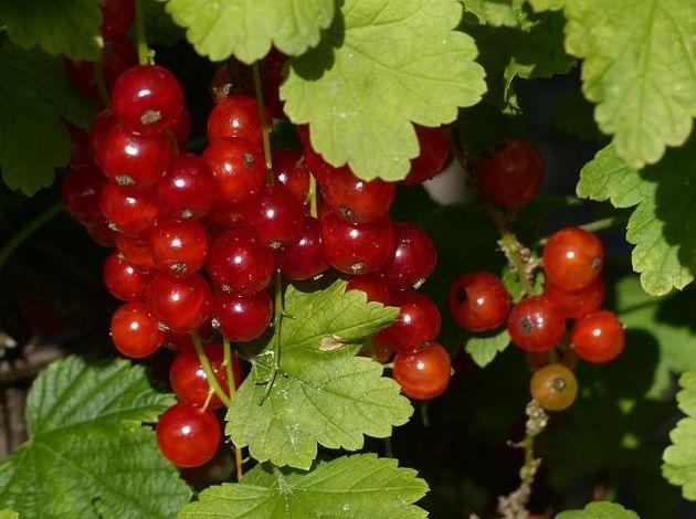 Grosella: Productos de Mundifruit