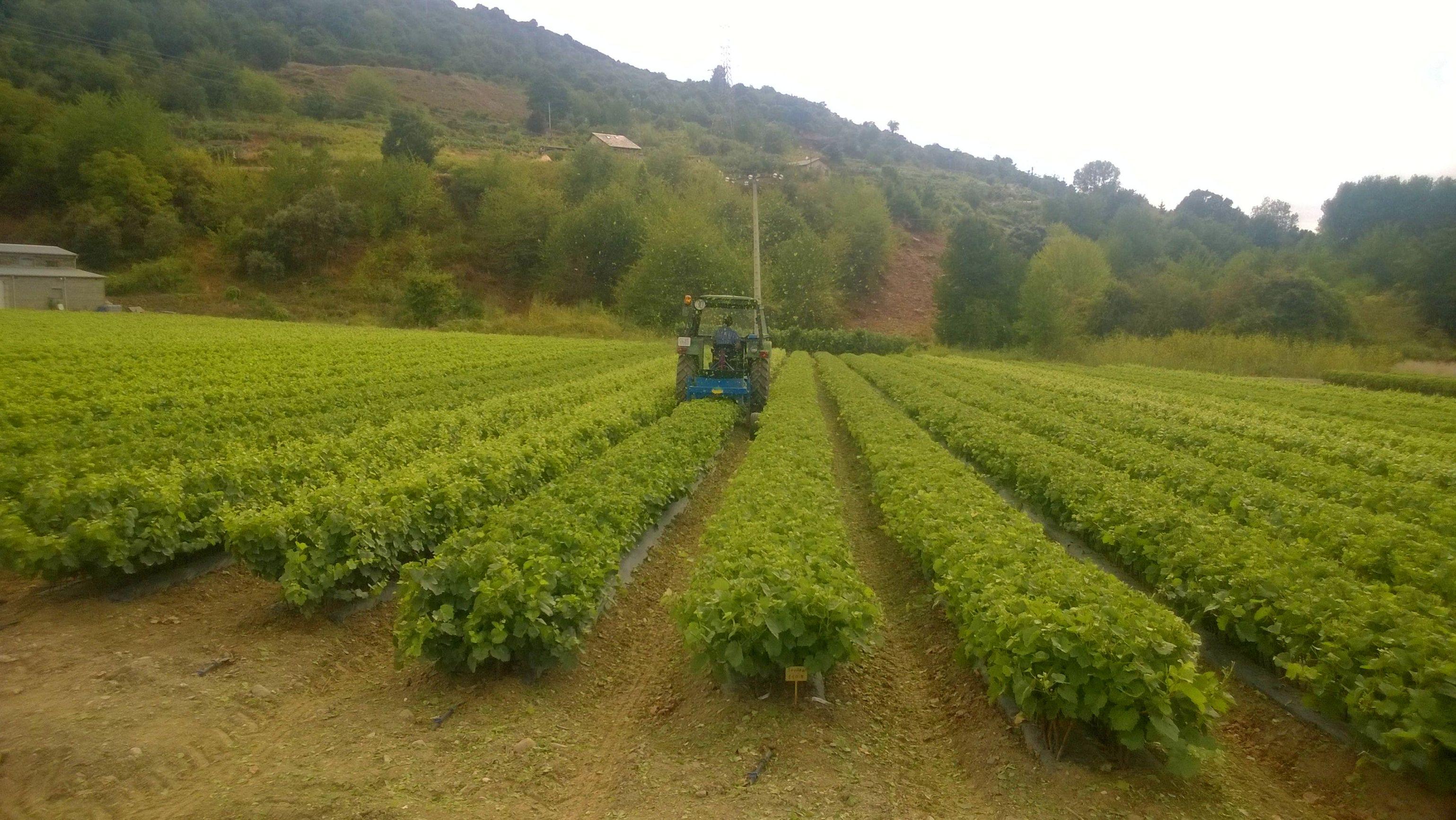 Máquina de despunte para controlar la vegetación de las plantas