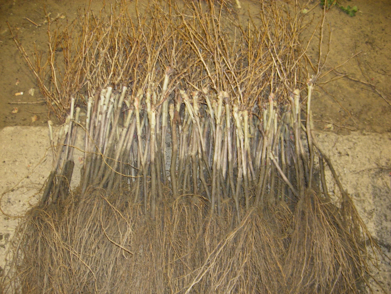 Plantas recién arrancadas de godello
