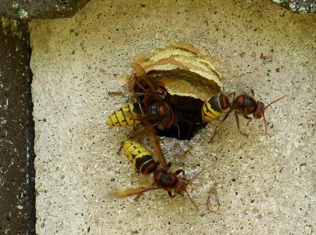 Eliminación de plagas de avispas y otros insectos