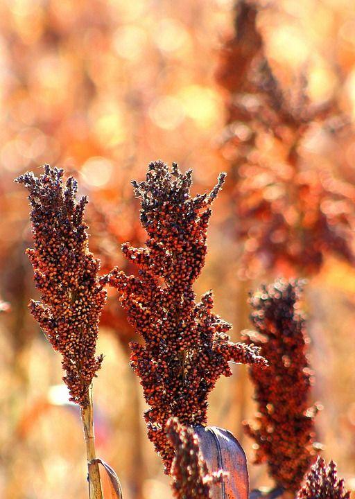 Venta de semillas de sorgo en Valladolid