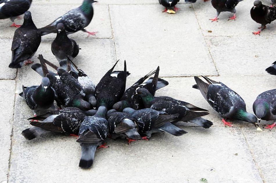 Control de aves : Tratamientos   de Aravaca Control de Plagas