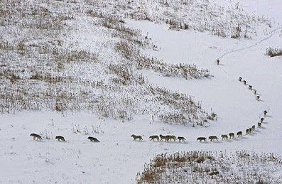 Desmintiendo Erratas. El grupo de 25 Lobos. Por DAVIDNIETOMACEIN.BLOGSPOT.COM
