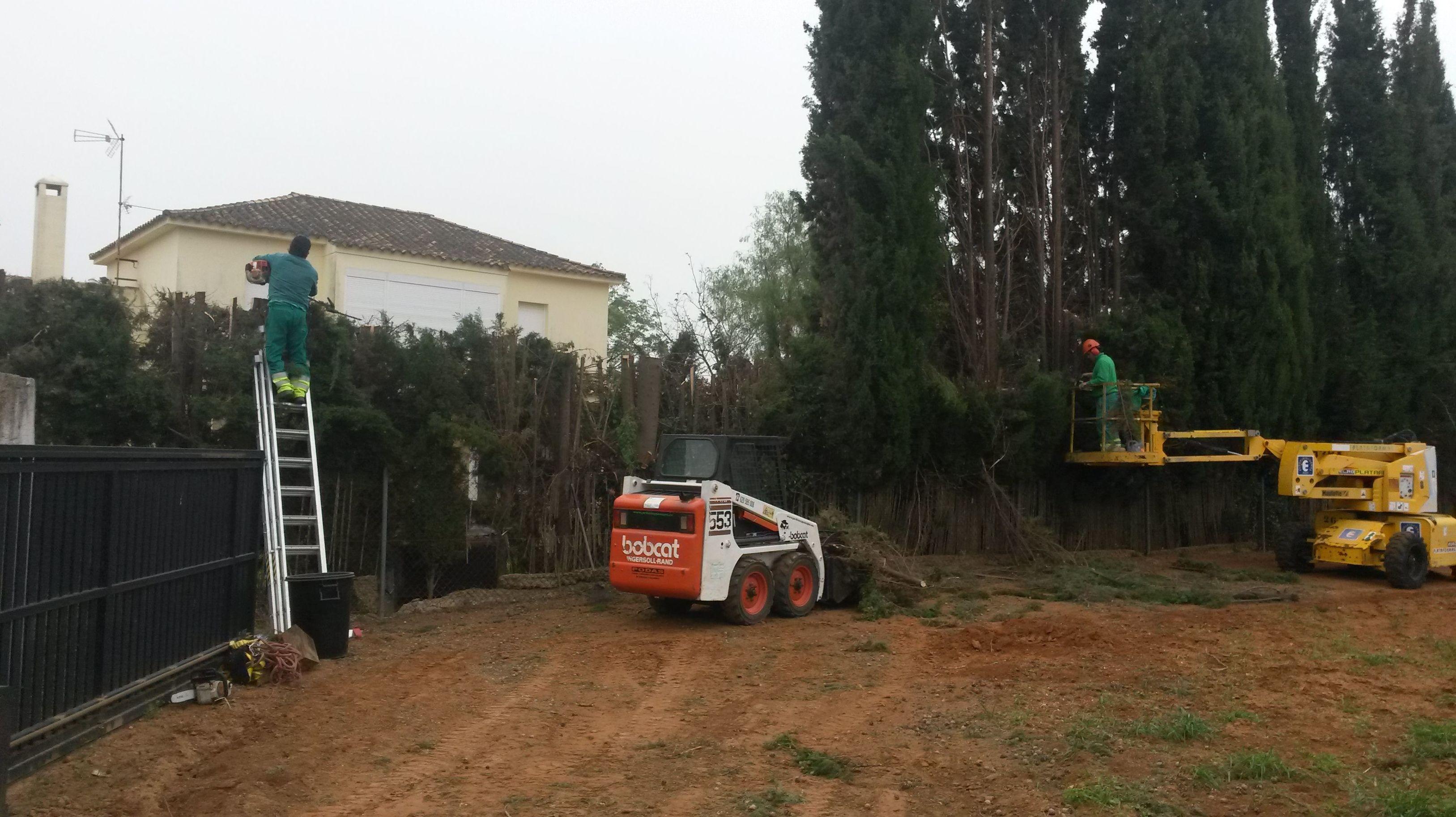 Rebaje de altura a cerramientos de cipreses ejemplares