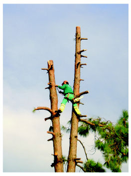 Derribos controlados de árboles
